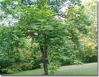A Népliget ehető ritkaságaiból: japán szárnyasdiófa