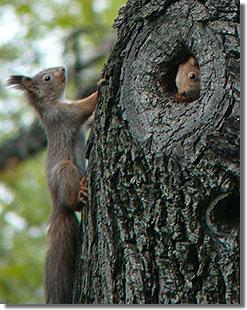 Népligeti mókusbújócska...