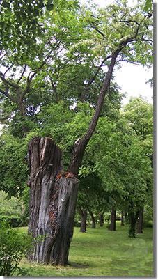 A Népliget legöregebb fája, az 1855-ben ültetett 'egylevelű akác'