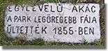 A Laci bácsi öntötte útmutató az egylevelű akáchoz, a Népliget legöregebb fájához