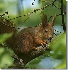 Népligeti mókus (Fodor Pál felvétele)
