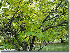 A Népliget ehető ritkaságaiból: a papíreperfa