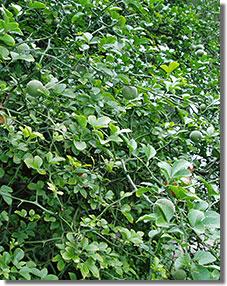 A Főkert épületénél. Szeptemberben még ilyen zöld volt a vadcitrom  gyümölcse, novemberre érik narancssárgára